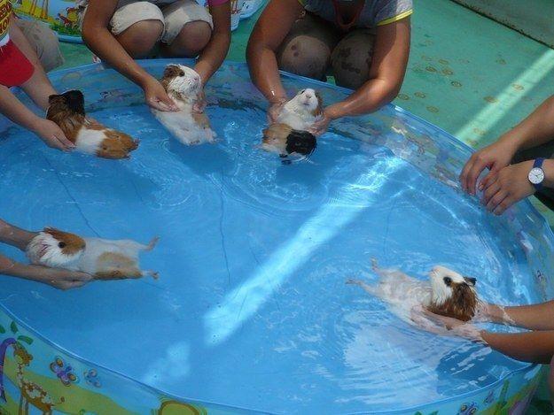 Estos conejillos de India aprendiendo a nadar.