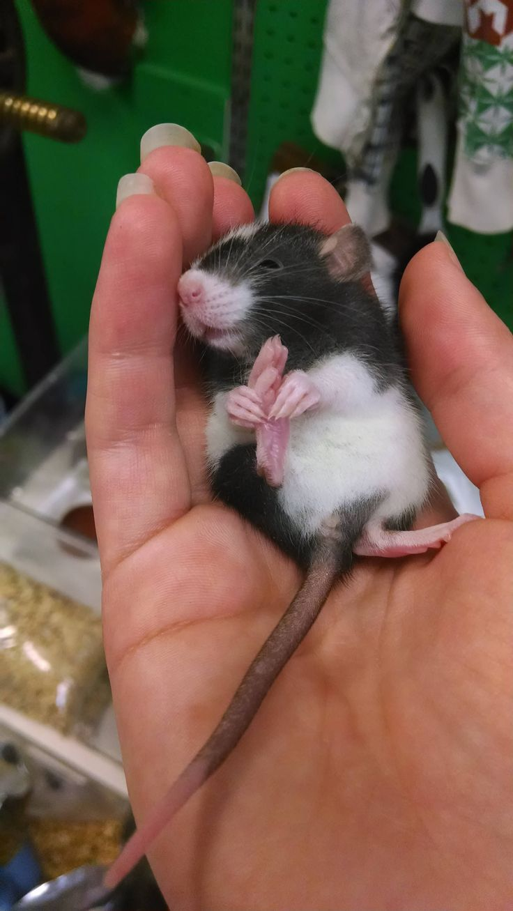 Baby rats are called kittens or pups... and this sure is one really cute rattie pup! :D