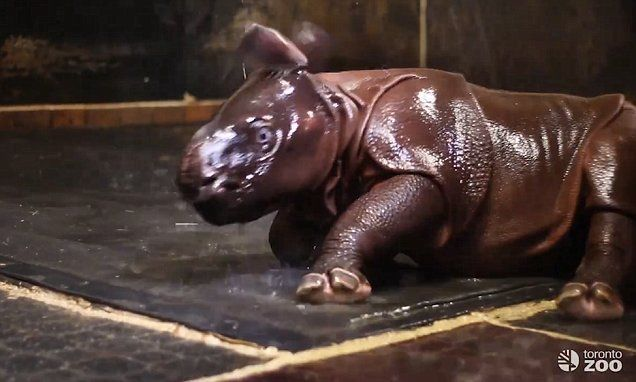 Rhino baby shows his delight by jumping around in a shower