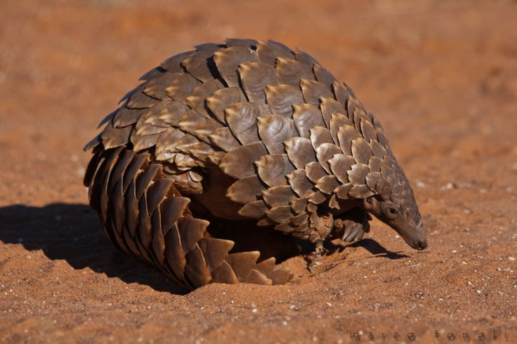 Giant African Pangolin  Pinned For Image Research