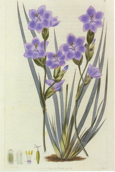 Orthrosanthus multiflorus  Morning Iris  artist: Edwin Dalton Smith (1800 - 1852)  From 'Flora Australasica' published by Robert Sweet in 1827-28   Australian Botanical Illustration