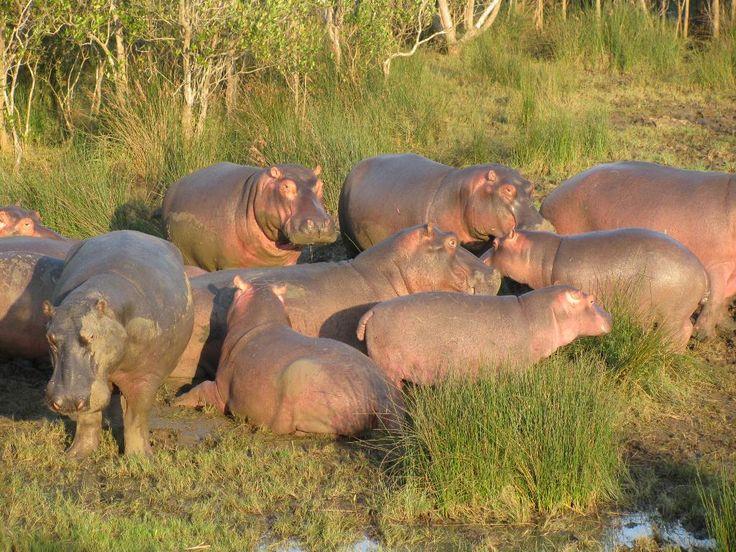Hippos sweat pink