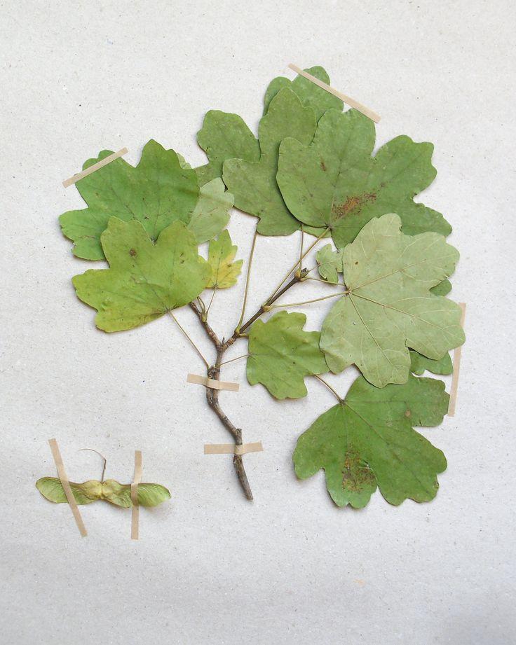 Acer campestre Sapindaceae Sapindales