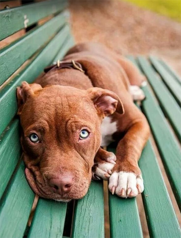 31 best pitbull blue images on pinterest pets beautiful for Amazing dog kennels