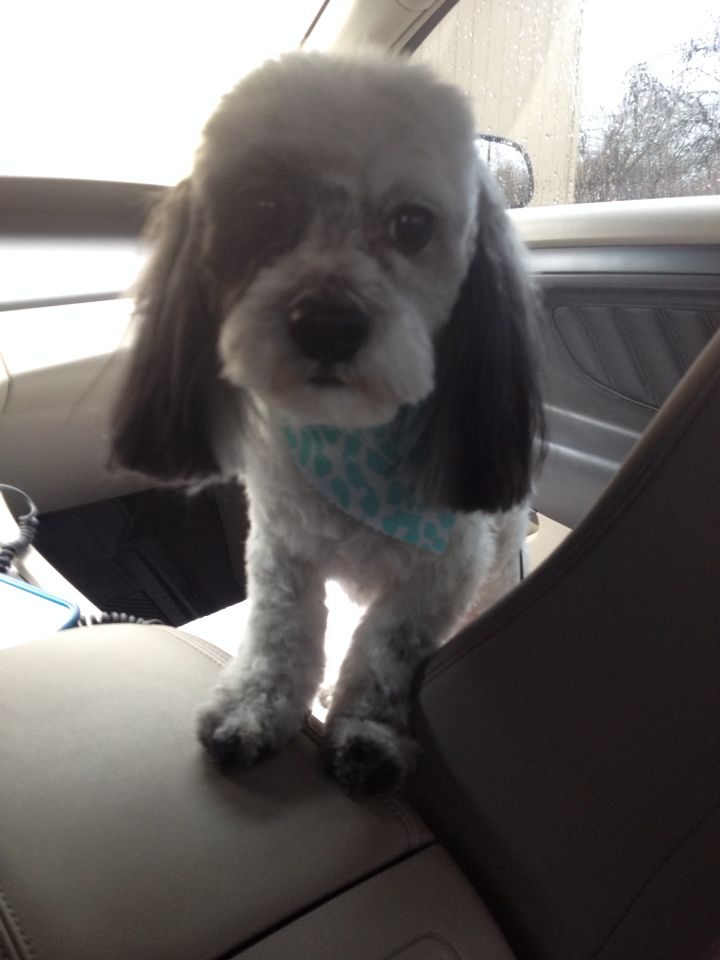 My dog Patchie after he got a haircut last week
