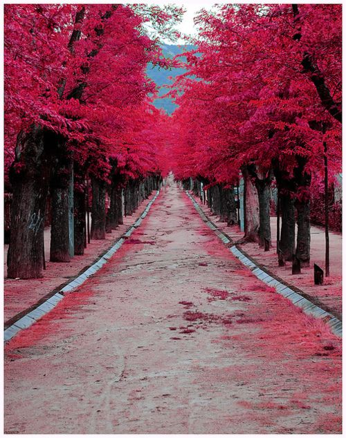 Burgundy Street. Madrid, Spain.Pink Pink Pink, Madrid Spain, Nature, Colors, Burgundy Street, Trees, Pinkpinkpink, Travel, Places