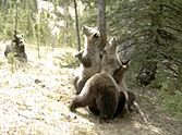 In the middle of the woods, someone set up a trail cam to monitor animal activity... but we bet they never expected to see what was recorded! When no one is around, bears like to do something hilarious. :)