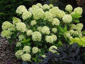 Hydrangea little lime. Full sun hydrangea, cold hardy, 3-5'.   More info on this website...