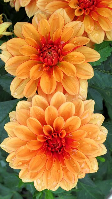 Orange Dahlias.