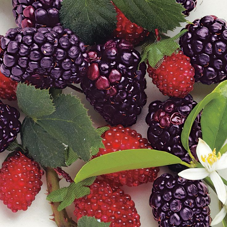 Mulberry Hedelmiä & sitrusta Makeaa vastapoimittujen marjojen tuoksua - mehevää ja herkullista.