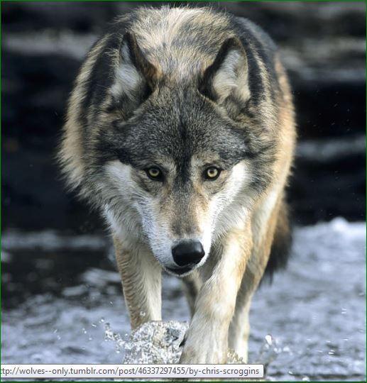 Il lupo...