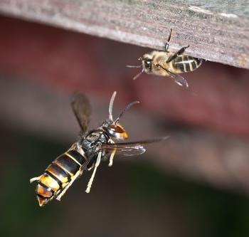 Frelon asiatique attaquant une abeille. Crédit photo: Danel Solabarrieta/Flickr