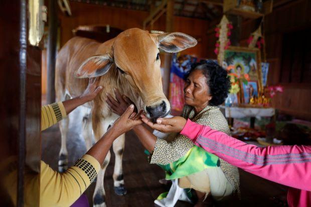 Video: Anak lembu ini adalah jelmaan suami saya yang telah meninggal dunia   MEDIA sosial Kemboja dikejutkan dengan dakwaan seorang wanita yang mempercayai anak lembu yang dijaganya sekarang adalah jelmaan semula daripada suaminya yang telah meninggal dunia.    Video: Anak lembu ini adalah jelmaan suami saya yang telah meninggal dunia      Khim Hang berkata anak lembu yang dilahirkan sekitar Mac lalu berkelakuan seperti suaminya Tol Khut yang sudah meninggal dunia lebih setahun lalu.  Saya…