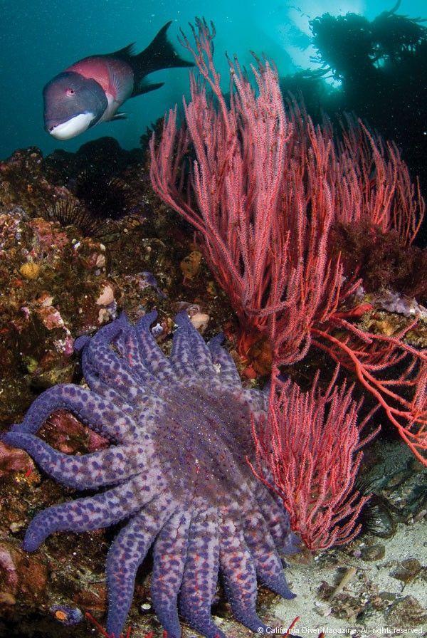 Sunflower Starfish, Sutil Island, CA