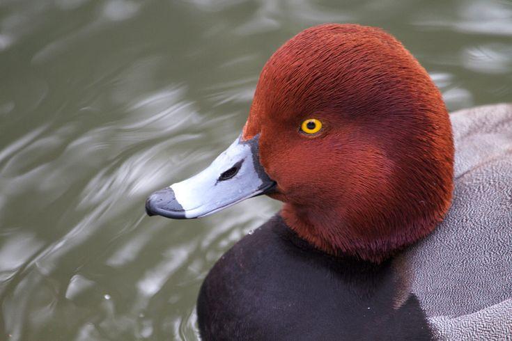 Redhead Duck   Connecticut's Beardsley Zoo