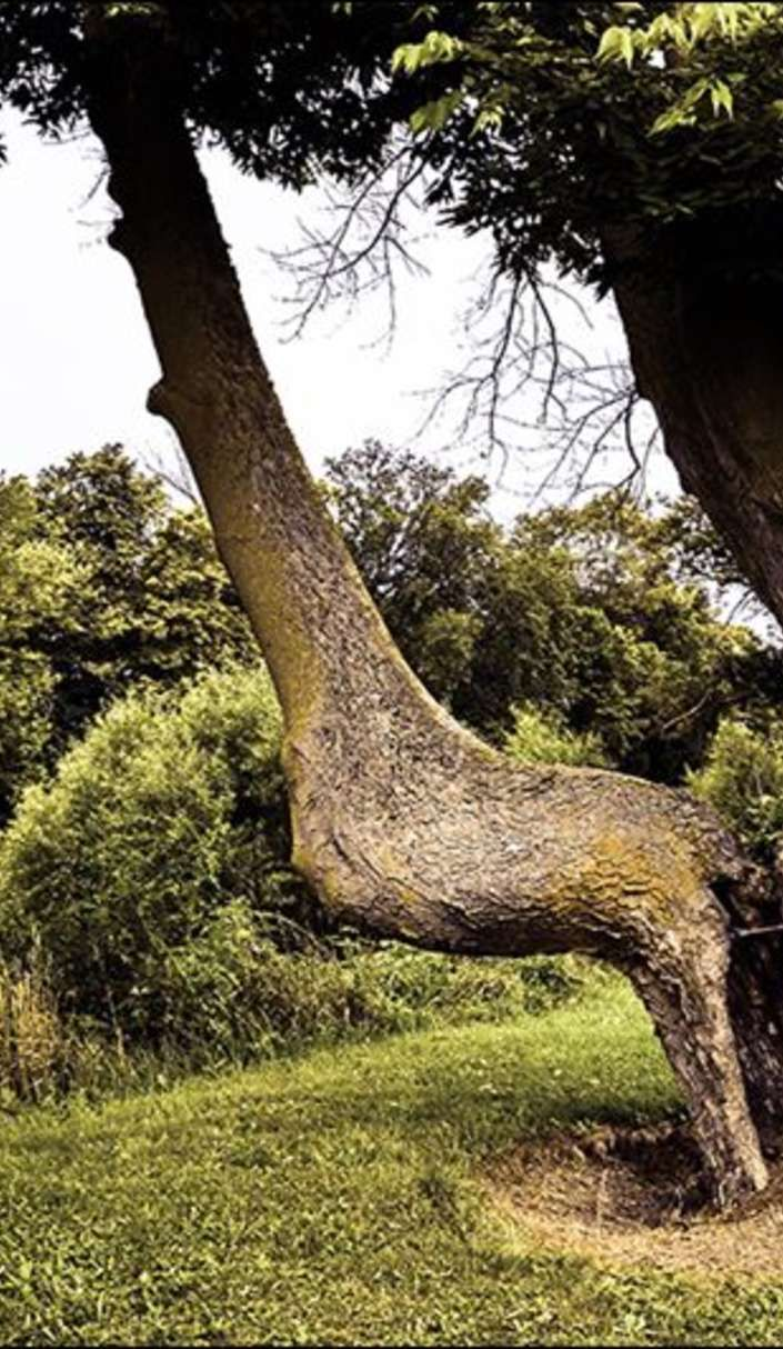 Mysterious bent trees are actually Native American