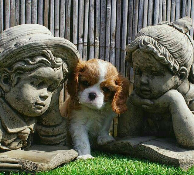 Cavalier baby! Too cute