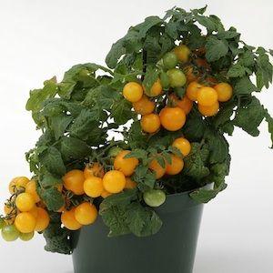 Sweet U0027Nu0027 Neat Yellow Patio Tomato Seeds   Garden Seeds   Vegetable Seeds