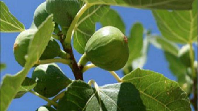 Počuli ste už listoch stromu, ktoré dokážu pomôcť s liečbou cukrovky a množstvom ďalších zdravotných problémov od cholesterolu, cez triglyceridy až po žalúdočné vredy? Za svoje liečivé účinky vďčia vysokému obsahu vlákniny, minerálov vápnika, horčíka, medi, mangánu, zinku a množstvu antioxidantov. Navyše sú aj bohatým