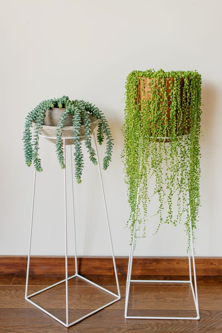 String of banana plant care - Burros Tail String Of Pearls On Www Bluecaribou Ca Stands Donkeytail