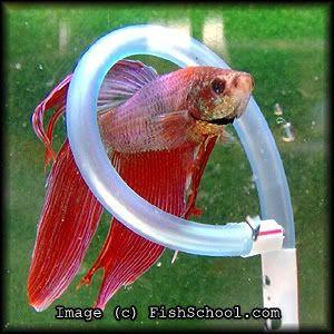 Best 25 betta fish toys ideas on pinterest diy betta for Betta fish care water