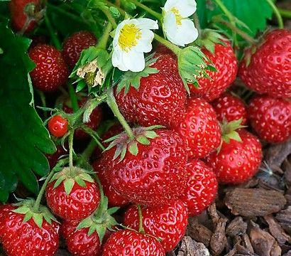 Lieblingsbeschäftigung im Sommer: Erdbeeren pflücken.