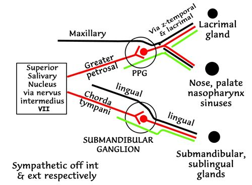 Instant Anatomy - Head and Neck - Nerves - Autonomic - Specific pattern for VII, diagrammatic