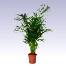 A bételpálma Délkelet-Ázsiában őshonos, trópusokról származó pálmaféle. Fásodó szárú pálmafaj, amely a trópusi erdők aljnövényzetéhez tartozik eredeti élőhelyén. Szűrt fényt szeret, ezért kitűnő választás egy világos szobába. Szoliternek alkalmas, mert mérete elérheti a 2 métert is, üvegházban vagy télikertben a 3-4 métert. Levelei lágyak, visszahajlóak, szárnyaltak.