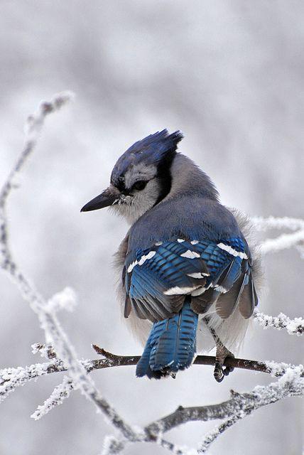 Winter bluejay!