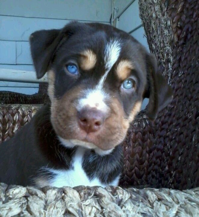 Pitbull Siberian Husky Mix. What a badass fucking puppy this is / will be.