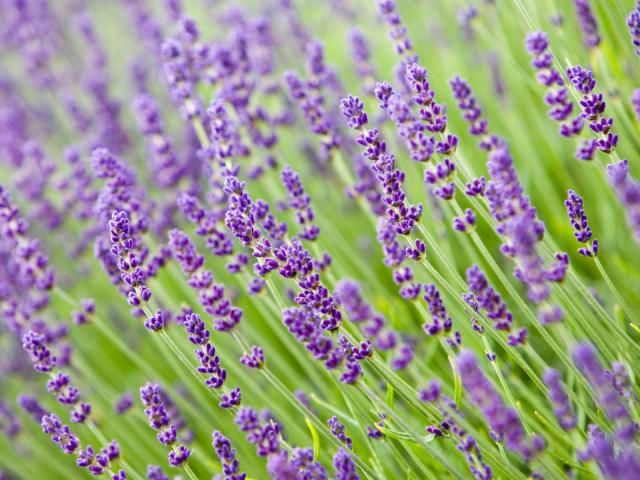 Start your lavender plants off right and they will grow healthy and live long. Here are some tips for pruning your lavender plant in its first years.
