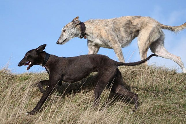Find Whippet puppies for sale with pictures from reputable Whippet breeders. Ask questions and learn about Whippets at NextDayPets.com.