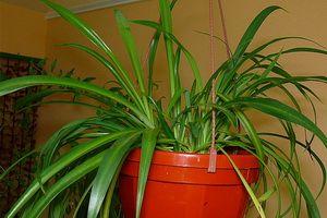 Комнатное растение хлорофитум хохлатый: фото видов, уход в домашних условиях