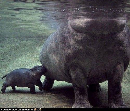 .: Baby Hippo, Animal Baby, San Diego Zoos, Animal Photography, Hippos, Baby Animal, Rivers Horses, Cutest Animal, Baby Momma