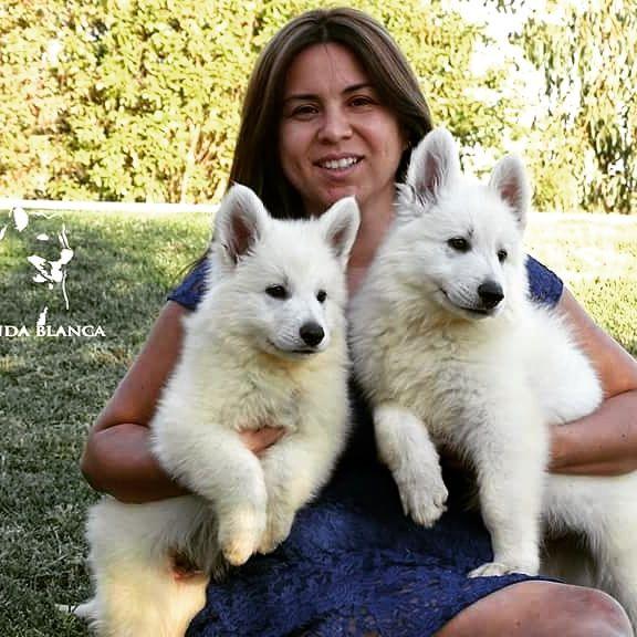 Pastor blanco suizo. Cachorros disponibles. Www.leyendablanca.cl