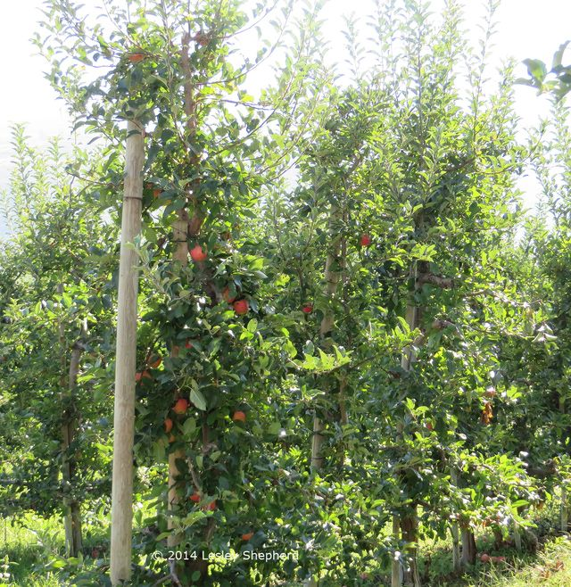 How to Choose Miniature Fruit Trees for More Fruit in Less Space: Commercial apple cordons of narrow single stems, are kept to a height which eliminates the need for ladders. Grown in rows they produce more apples per square foot than full sized trees.