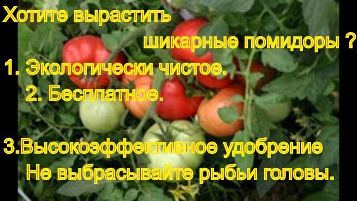 Хотите вырастить шикарные помидоры ? Не выбрасывайте рыбьи головы