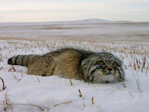 Pallas's cat (Otocolobus manul), also called the manul, is a small wild cat having a broad but patchy distribution in the grasslands and montane steppe of Central Asia. The species is negatively impacted by habitat degradation, prey base decline, and hunting, and has therefore been classified as Near Threatened by the International Union for Conservation of Nature since 2002.