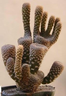 .Opuntia Clavarioides