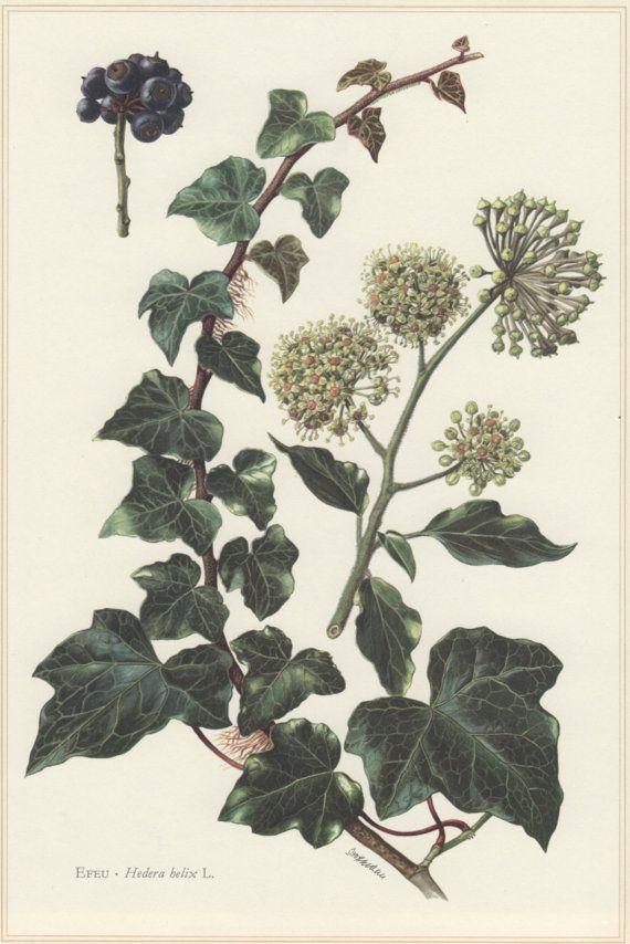 1960 botanische Print Hedera helix Engels Ivy Vintage