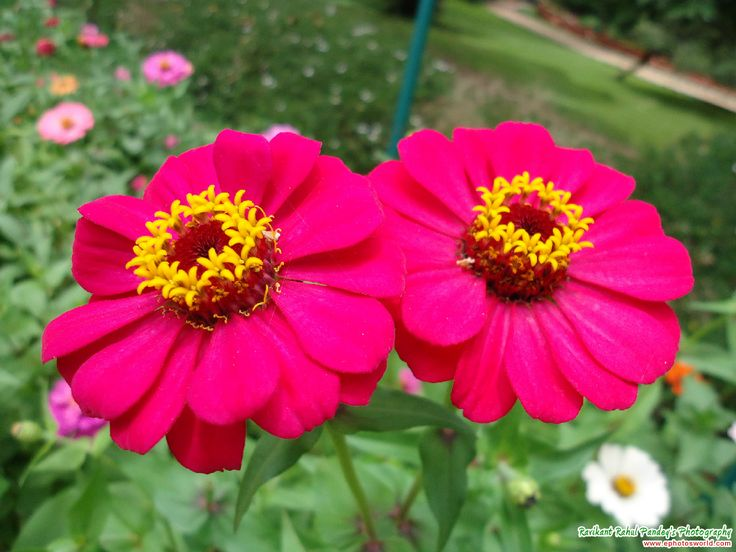 zinnia flower pictures | Pink Zinnia Flower