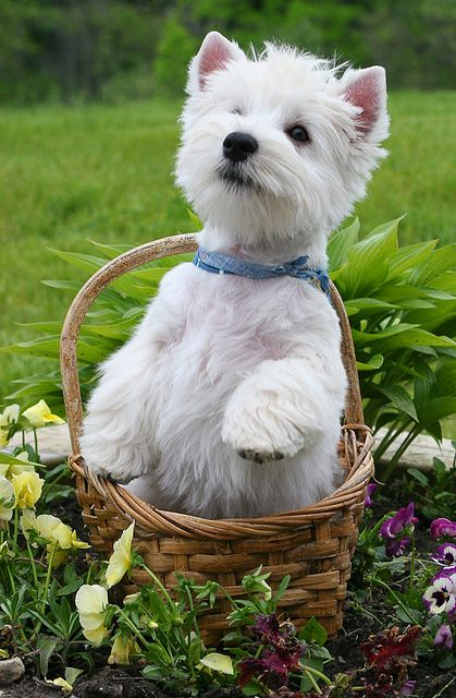 This looks like my dog, Bonnie. But she would NEVER sit in a basket - because she's really a human in a small furry body.