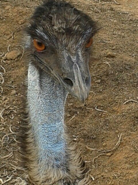 #emu face #safari #ostrich #show #farm