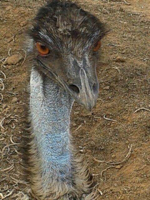 #emu face #safari #ostrich #show #farm