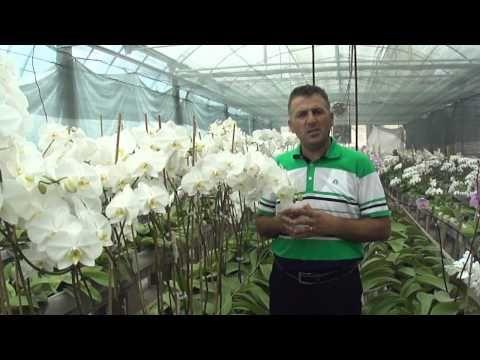 Orkide (Orchidaceae) - Özelliği, Çoğaltımı, Bakımı, Sulaması, Budaması 5. Bölüm - YouTube