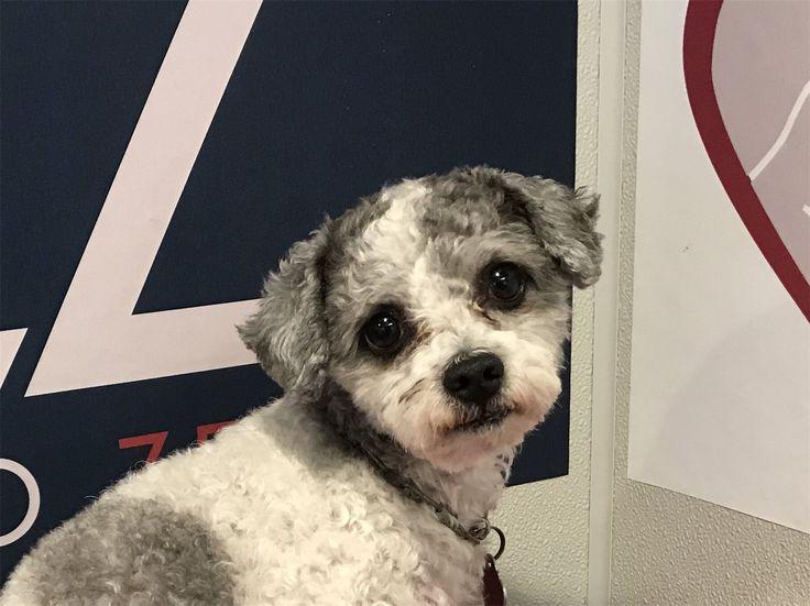 Poodle (Miniature) dog for Adoption in pomona, CA. ADN-709836 on PuppyFinder.com Gender: Male. Age: Adult