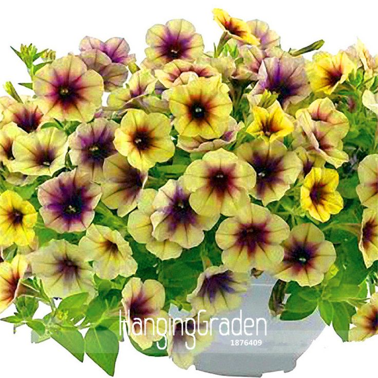 Time-Limit!!Rare Casctus Autumn Mystery Petunia Plants Flower Seeds, 100 Pieces / Pack, Bonsai Beautiful Flower,#HHIQ8V