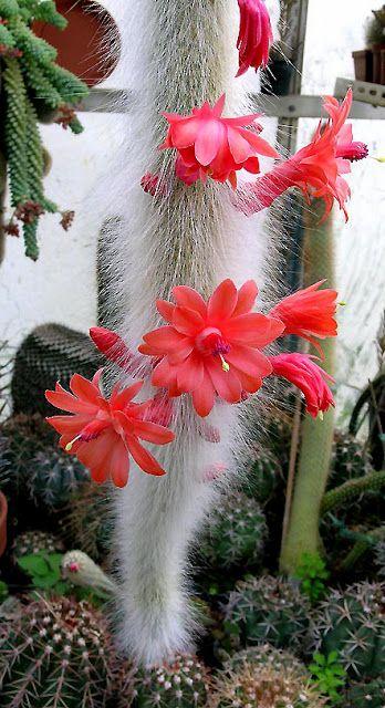 Cleistocactus winteri. Love this plant!