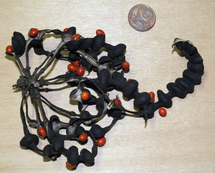 Erythrina lysistemon / Koraalboom