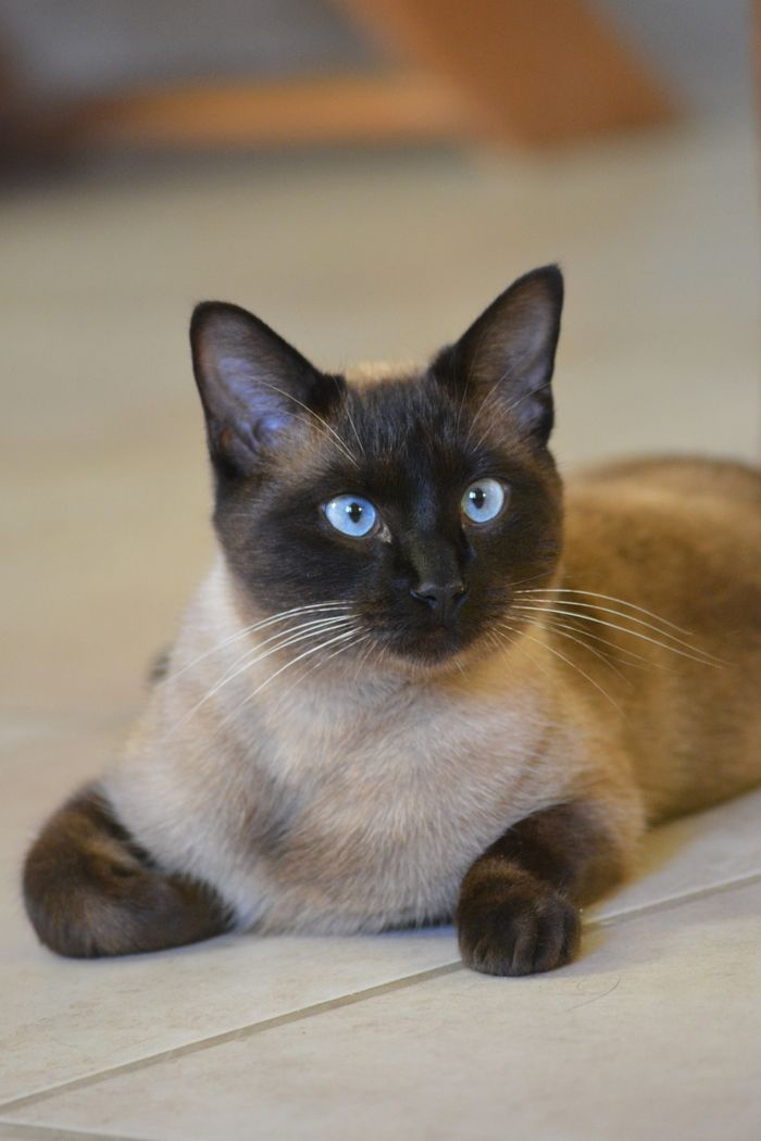 7825 best Burmese Cat images on Pinterest Animals Cats and Burmese